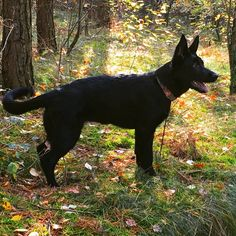 puppy, black german shepherd