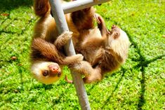 So yeah, all baby sloths have to exercise and they are FAST.