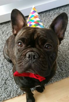 """""""Happy Birthday.... again?"""".... """"how many of these do I get?"""", confused French Bulldog"""