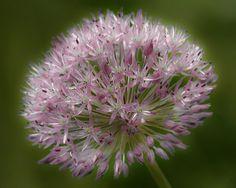 63 Best Allium Images Allium Plants Garden