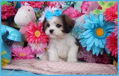 www.cavachonsbydesign.com Cavachon puppies for sale, Cavachon, Cavachons, Cavachon dog, Cavachon pups, Cavachon pup, Cavachons dogs for sale, Cavachon puppies, Cavachons for sale, Cavachon breeder, Cavachon breeders, Bichon, Cavachon Puppies, Dogs For Sale, Puppy Love, Future, Animals, Design, Future Tense, Animales, Animaux