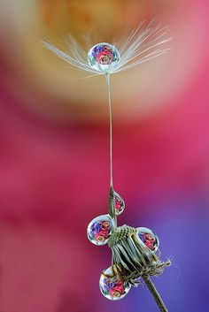 ~~dandelion drops | macro photography by ASPphotographic~~