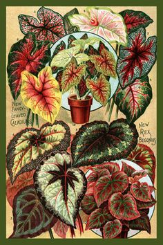 Olde America Antiques | Quilt Blocks | National Parks | Bozeman Montana : Flowers - Begonias Caladiums 1907