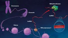 The Epigenetic Lnc (The Scientist)