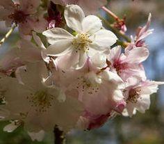 winterbloeier: wintersierkers / Prunus subhirtella 'Autumnalis'