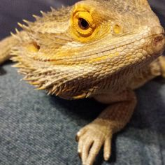 #Buddy hanging out after a long work week. #misterfitshace #mr_fitshace #fitshace #beardeddragon #lizard #reptile #spikey #friday #2015 #march