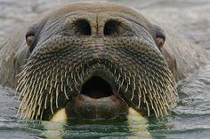 #walrus Svalbard, #Norway  by Ralph Lee Hopkins