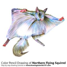 Northern Flying Squirrel with Color Pencils [Time Lapse]