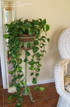 40 Best Plant Stand Decor Ideas That Will Make Your Home Stunning Now, folks love putting plants within the home. Indoor plants provide plenty of 40 Best Plant Stand Decor Ideas That Will Make Your Home Stunning Inside Plants, Ivy Plants, Cool Plants, Flowering Plants, Porch Plants, House Plants Decor, Plant Decor, Vine House Plants, Golden Pothos