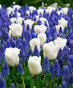 Cream tulips with blue grape hyacinths.