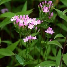 Remedy of The Day: Centaury. Also for liver and gall bladder disorders #herbs #weightloss #remedieshttp://www.frannsalthealth.com/blog/centaury-health-benefits/