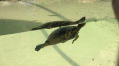 Es una tortuga nadando