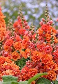 Snapdragons gorgeous orange