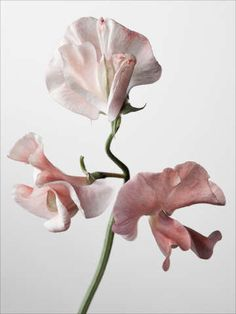 Sweet Pea by Robert Ullman