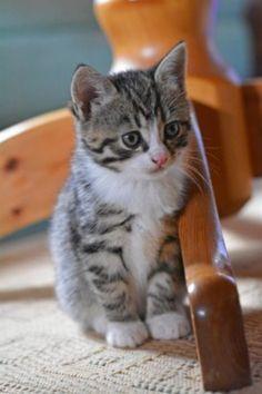 Tabby Kittens, Merlin, Cat, Animals, Beauty, Kittens, Animales, Animaux, Cat Breeds