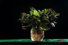 Alface - Verde - Foto: Marion Rupp