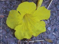 Tabebuia chrysotricha (ipê amarelo) - foto: Nô Figueiredo