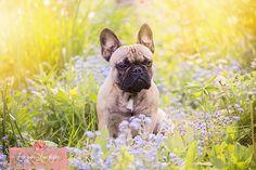 Bob de Franse Bulldog