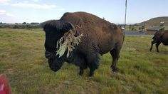 Bison adornment at Bear River State Park, Wyoming