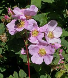 California Wild Rose: heals apathy, resignation, and passivity and replaces it with love for Earth & Life.