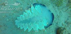 Nurkowanie w Chorwacji i piękne widoki spod wody. Ślimak morski nieznanego gatunku, ale jakże piękny. http://www.divingpag.com/pl/  #aquamatic #bazanurkowa