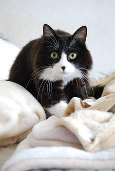 ねこのすいちゃん, beautiful tuxedo cat