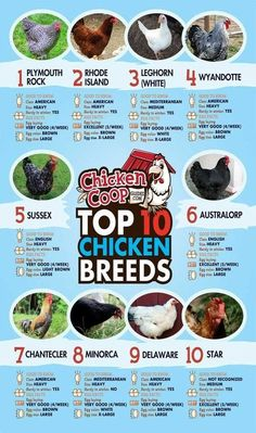 Top 10 Chicken Breeds The Best Egg Laying Chickens For Your Best Egg Laying Chickens, Raising Backyard Chickens, Backyard Chicken Coops, Keeping Chickens, Diy Chicken Coop, Pet Chickens, Best Laying Hens, Types Of Chickens, Breeds Of Chickens