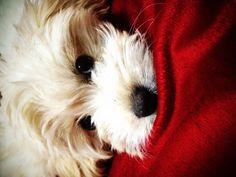 Maltese red blanket Nala