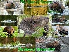 The year of beaver 2018 Nature Photos, Animals, Animales, Animaux, Animal Memes, Animal, Animais, Dieren