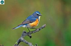 https://www.facebook.com/WonderBirdSpecies/ Red-flanked bluetail/Orange-flanked bush-robin (male)(Tarsiger cyanurus); Northern Asia and northeastern Europe; IUCN Red List of Threatened Species 3.1 : Least Concern (LC)(Loài ít quan tâm) || Oanh đuôi lam hông đỏ (trống); Bắc Á và đông-bắc châu Âu; HỌ ĐỚP RUỒI - MUSCICAPIDAE (Old World Flycatchers).