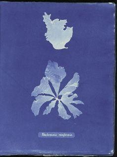 Rhodomenia reniformis.