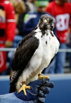 JANUARY 19: Taima the hawk is seen before the 2014 NFC Championship between the Seattle Seahawks and the San Francisco 49ers at CenturyLink Field on January 19, 2014 in Seattle, Washington. (Photo by Otto Greule Jr/Getty Images)