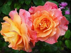 picture of knockout roses-3                                                                                                                                                                                 More