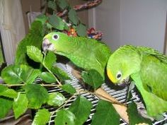 Safe plants for pet birds and parrots. Safe branches for foraging, chewing, perching and toy making.