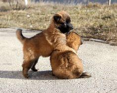 Puppy Tervuren