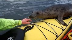 I seally like you! Friendly seal catches a ride on top of a kayak, the adorable footage was captured in Forth Estuary, Scotland