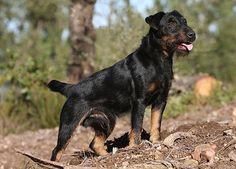 Jagdterrier, Deutscher, German Hunt Terrier, Irish Black and Tan Jack Russell Terrier,