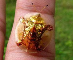 Золотой черепаховый жук -   Golden tortoise beetle  В русской википедии написано мало (только то, что он листоед), в английской пишут, что жучка называют goldbug, обитает в Северной и Южной Америке, питается листьями, умеет менять цвет (оттенки золота) с возрастом, временами год