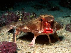 """Red-lipped Batfish: One of more than 60 different species of fishes found in warm sea, this fish has a broad head, slight body, and is covered in large gnarled lumps. Batfish are not good swimmers; they use their pectoral fins to """"walk"""" on the ocean floor. When the batfish reaches adulthood, its dorsal fin becomes a single spine-like projection that lures prey. Batfish eat shrimps, mollusks, small fish, crabs, and worms."""