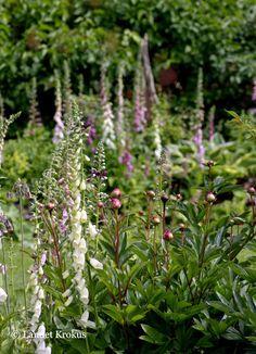 Landet Krokus: digitalisar och pionknoppar, måst minnas att plantera med varandra för en så här fin effekt!