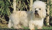 Dandie Dinmont Terrier breed info,Pictures,Characteristics,Hypoallergenic:Yes Best Hypoallergenic Dogs, Dandie Dinmont Terrier, Terrier Dog Breeds, Dog List, Pictures, Animals, Photos, Animales, Animaux