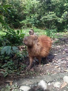 Just a monkey casually riding a capybara