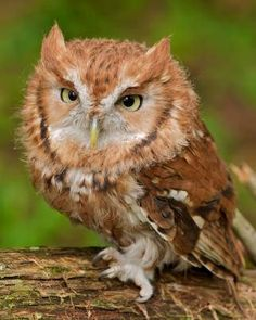 Eastern Screech-Owl (Rufous Morph) - Otus asio by AuLux Owl Photos, Owl Pictures, Animals And Pets, Baby Animals, Cute Animals, Beautiful Owl, Animals Beautiful, Owl Bird, Pet Birds