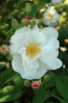 Rosa 'Hebe's Lip', 'Reine Blanche', Damask rose, before 1829