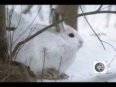 DANS LA NATURE Ep.41 : Rencontre d'un beau lièvre d'Amérique Snowshoe Hare, Nature Sauvage, Wilderness, Canada, Animals, Beautiful, Dating, Animales, Animaux