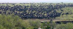 The great wildebeest migration only in Masai Mara