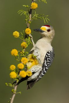 Golden-Fronted Woodpecker Bird, Male Perched in Native Habitat, South Texas, USA
