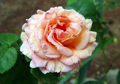 Dixieland Linda , Climbing Roses ,