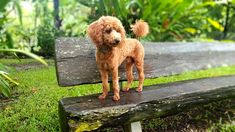 Dash  toy poodle 4.1kgs  8mths