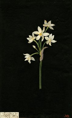 Mary Delany, Narcissus Papyraceus collage, 1776 (source).